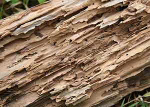 Termite-damaged wood showing rotting galleries outside of a Beaver Dams home